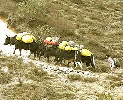 Trekking equipment carried by yaks